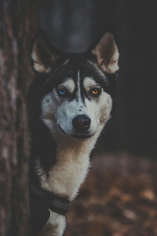 animal-eyes-wild-wolf-Favim.com-3023621