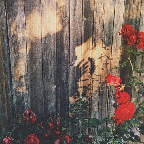 nature-red-roses-shadow-Favim.com-2899619